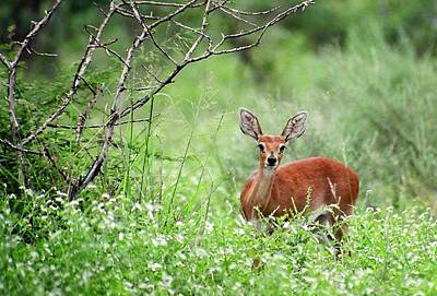 Photograph - Sweet Steenbok by Bruce W Krucke