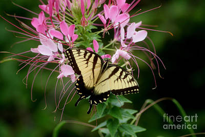 Photograph - Sweet Swallowtail by Living Color Photography Lorraine Lynch