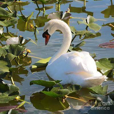 Photograph - Sweet Swan by Carol Groenen