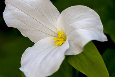 Photograph - Sweet White Trillium 5 by Jack R Perry