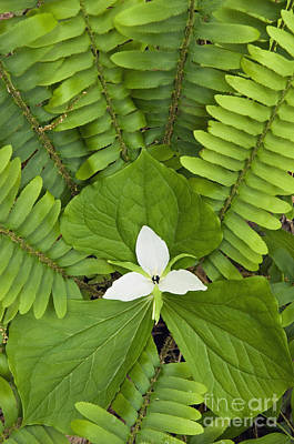 Photograph - Sweet White Trillium - D008728 by Daniel Dempster