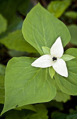 Photograph - Sweet White Trillium by Shari Jardina