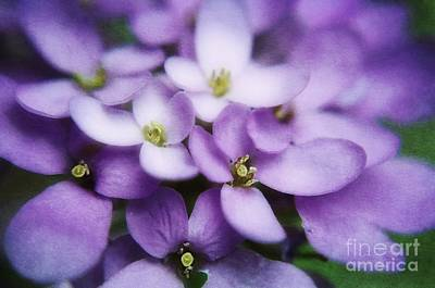 Photograph - Sweet Williams Flowers by Peggy Franz