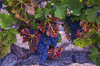 Grape Leaves Photograph - Sweet Wine Grapes by Garry Gay