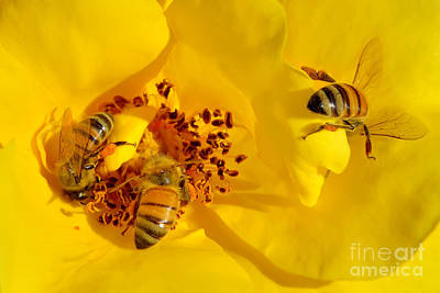 Photograph - Sweet Yellow Rose And Little Busy Bees by Olga Hamilton