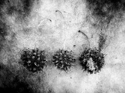 Photograph - Sweetgum Burrs by Louise Kumpf