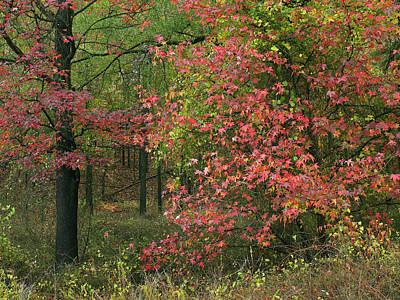 Sweetgum In Autumn At Gillham Lake Art Print