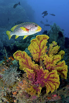 Gorgonian Photograph - Sweetlip Fish Swims Over Gorgonian by Jaynes Gallery
