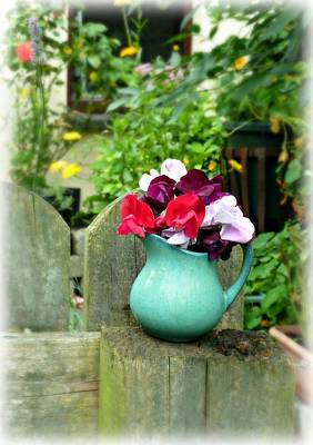 Photograph - sweetpeas in Grans little jug. by Debra Collins