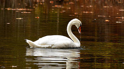 Swan Photograph - Swim And Grace by Lourry Legarde