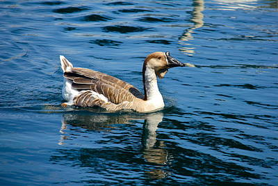 Photograph - Swimming African Brown Goose by Denise Mazzocco