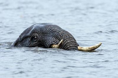 African Wildlife Photograph - Swimming African Elephant by Peter Chadwick