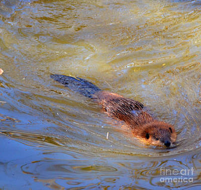 Swimming Beaver Print by Eva Thomas