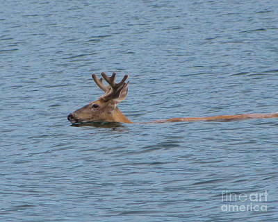 Photograph - Swimming Deer by Leone Lund