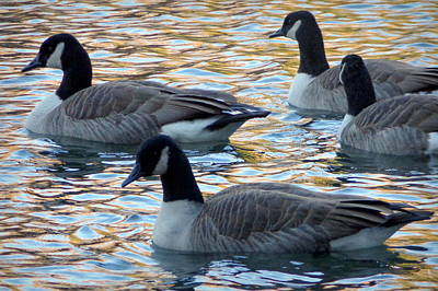 Photograph - Swimming Geese by Joseph Skompski