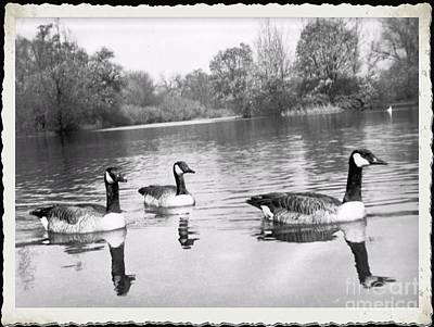 Photograph - Swimming Geese-  Vintage Photograph by Luther Fine Art