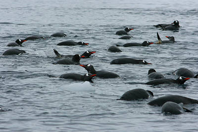 Brushtail Photograph - Swimming Gentoo Penguins by Amanda Stadther