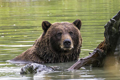 Photograph - Swimming Grizzly by Saya Studios