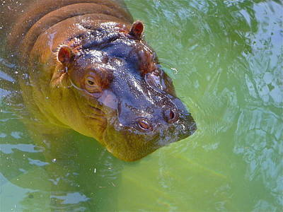 Photograph - Swimming Hippo by Denise Mazzocco