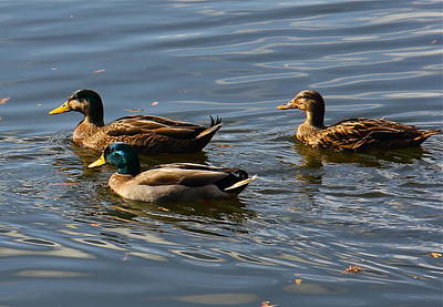 Photograph - Swimming Mallards by Denise Mazzocco