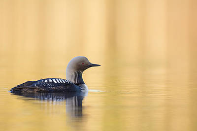 Loon Photograph - Swimming On A Lake Of Gold by Tim Grams