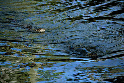 Photograph - Swimming Otters by Judy Wanamaker