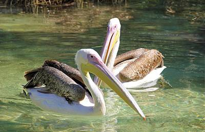 Photograph - Swimming Pelicans by Jane Girardot