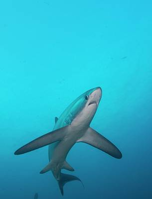 Hammerhead Shark Photograph - Swimming Thresher Shark by Scubazoo