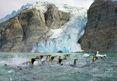 King Penguin Photograph - Swimmings King Penguins And Glacier by Yva Momatiuk John Eastcott
