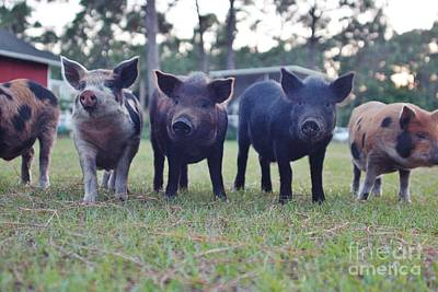 Photograph - Swine Line by Lynda Dawson-Youngclaus