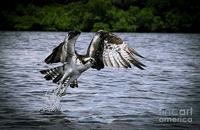 Osprey Photograph - Swing And A Miss by Quinn Sedam