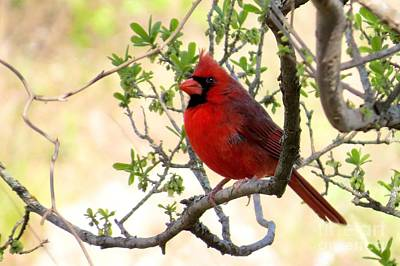 Photograph - Swingin' Cardinal by Frank Townsley