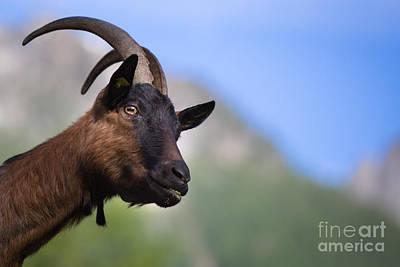 Photograph - Swiss Goat by Maurizio Bacciarini