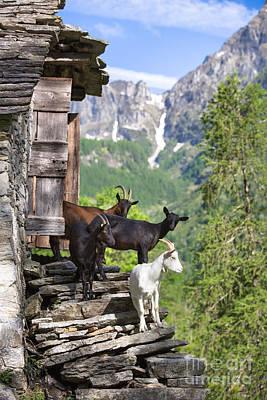 Photograph - Swiss Goats by Maurizio Bacciarini