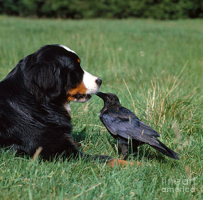 Photograph - Swiss Mountain Dog And Crow by Tierbild Okapia