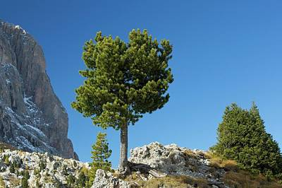 Landscape Plants Photograph - Swiss Pine (pinus Cembra) by Bob Gibbons