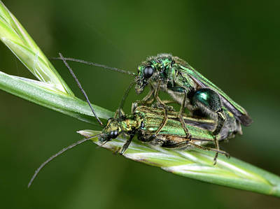 Beetle Photograph - Swollen-thighed Beetles by Nigel Downer