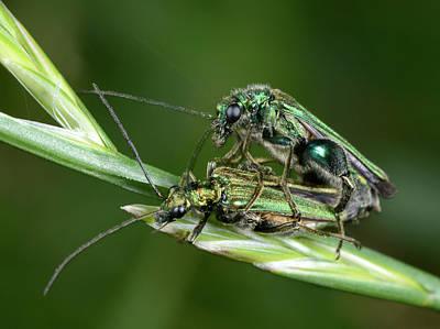 Beetle Photograph - Swollen-thighed Beetles by Nigel Downer