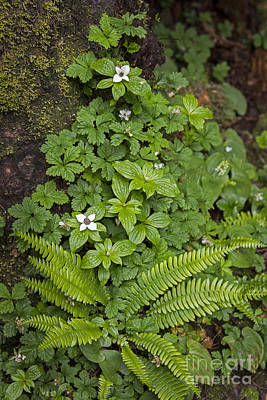 Photograph - Sword Fern And Bunchberry by Sonya Lang