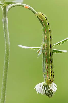 Sword-grass Caterpillar Art Print