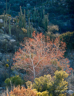Sycamore And Saguaro Cacti, Arizona Art Print by John Shaw