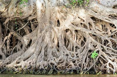 Tree Roots Photograph - Sycamore Fig Tree Roots Binding The Soil by Peter Chadwick