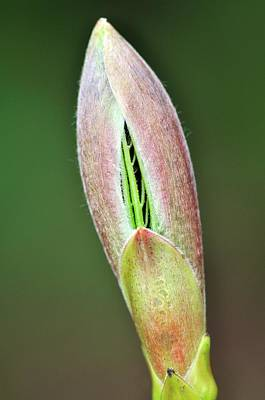 Sycamore Leaf Bud Art Print by Colin Varndell