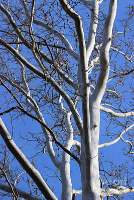 Photograph - Sycamore Tree With Blue Winter Sky by Karen Adams