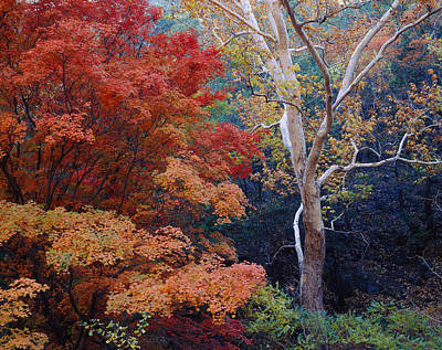 Sycamore Canyon Photograph - Sycamore Trees And Bigtooth Maple Acer by Panoramic Images