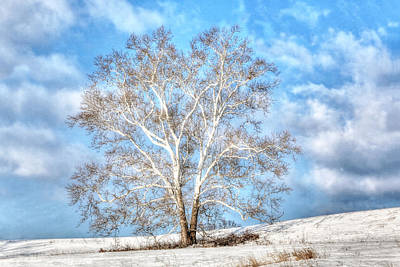 Sycamore Winter Art Print by Jaki Miller