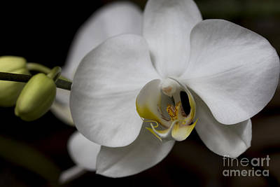 Photograph - Symphony White Orchid by Meg Rousher