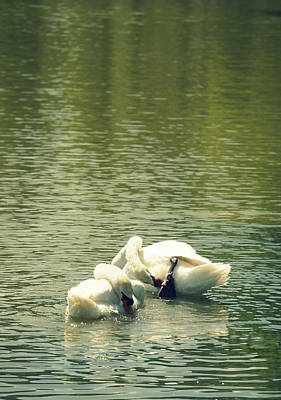 Photograph - Synchronized Swan Bath by Laurie Perry