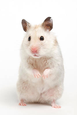 Syrian Hamster Photograph - Syrian Hamster Mesocricetus Auratus by David Kenny