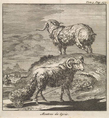 Ram Sheep Drawing - Syrian Sheep Or Ram, Jan Luyken, Pieter Mortier by Jan Luyken And Pieter Mortier